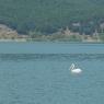 ptici pelikan - janevska-ilieva 10